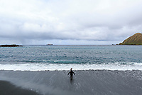 """King Penguin (Aptenodytes patagonicus), adult wading into the surf at Sandy Bay, Macquarie Island, Australia with the expedition cruise ship """"Spirit of Enderby"""" at ancher in the background."""