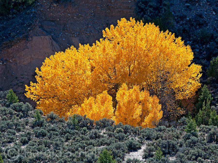 A lone cottonwood tree is illuminated from behind highlighting the golden fall color near the town of Velarde, New Mexio.
