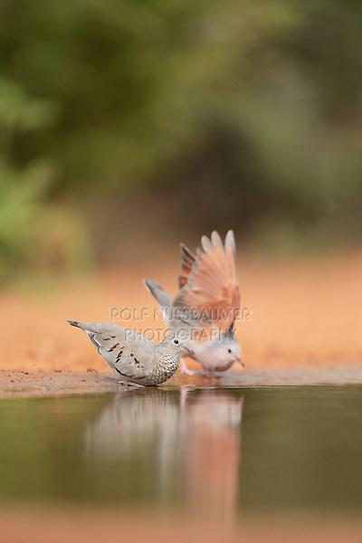 Common Ground-Dove (Columbina passerina), adult pair drinking, Rio Grande Valley, South Texas, Texas, USA