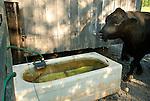Seeling Farm, Trout Run, PA. Cow drinking from bath tub