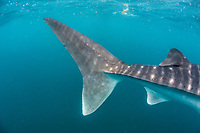 whale shark, Rhincodon typus, caudal fin, El Mogote, La Paz, Baja California Sur, Mexico, Pacific Ocean