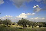 Israel, Mount Carmel, an Olive grove by Carmel Scenic Road