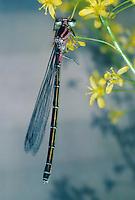 Hufeisen-Azurjungfer, Hufeisenazurjungfer, Azurjungfer, Weibchen, Coenagrion puella, Azure Damselfly, female