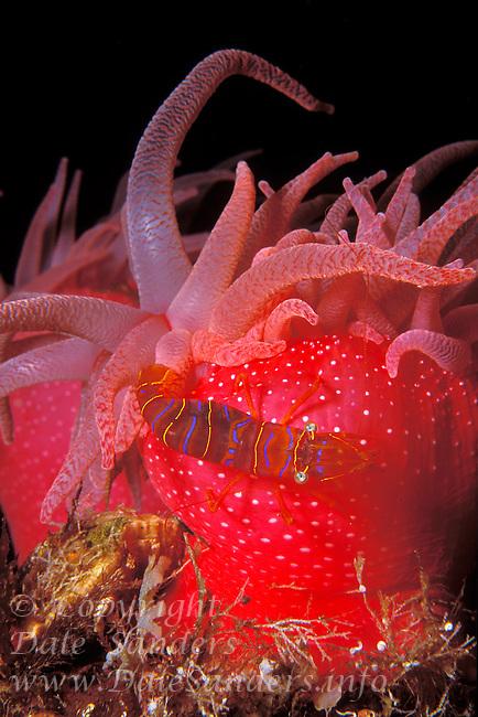 Candy Stripe Shrimp or Clown Shrimp (Lebbeus grandimanus) and Crimson Anemone (Cribrinopsis fernaldi), British Columbia, Canada.