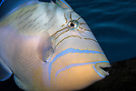 Queen Triggerfish swimming right medium shot