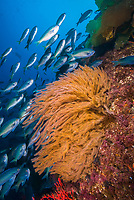 Blacksmith Chromis and California golden gorgonian on underwater rocky reef, San Clemente Island. The golden gorgonian is a filter-feeding temperate colonial species that lives on the rocky bottom at depths between 50 to 200 feet deep. Each individual polyp is a distinct animal, together they secrete calcium that forms the structure of the colony. Gorgonians are oriented at right angles to prevailing water currents to capture plankton drifting by