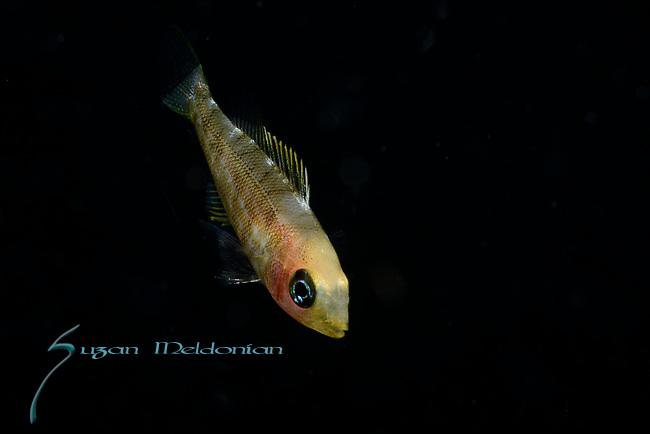 Lethrinus sp , spotcheek emperor ID by Brent Tibbatts, Visayas, Philippines 2017