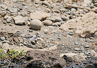 Least sandpiper, Calidris minutilla, on the shore of the Tarcoles River, Costa Rica