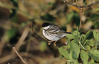 Blackpoll Warbler, Dendroica striata,male, South Padre Island, Texas, USA, May 2005