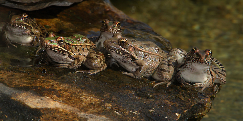 """Southern Leopard Frogs doing their morning """"round of ribbits"""" :)"""