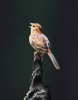 Bachmabb's sparrow singing