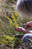 Goldrute-Ernte, Goldrute-Ernte, Ernte von Goldrute, Goldruten-Blüten, Kräuter sammeln, Kräuterernte, Gewöhnliche Goldrute, Echte Goldrute, Gemeine Goldrute, Goldrute, Solidago virgaurea, European Goldenrod, Goldenrod, woundwort, Solidage verge d'or, Baguette d'Aaron, Herbe des juifs