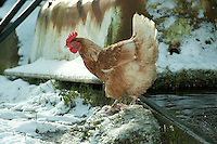 Free range hen and water trough in the snow,  Whitewell, Clitheroe, Lancashire.