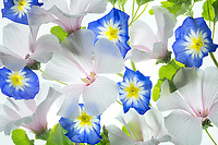 Close up of Hybiscus and Blue Ensign flower-(Conrolvulus tricolor). Oregon