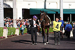 Royal Delta in the walking ring before the Sabin Stakes (G3) at Gulfstream Park. Hallandale Beach Florida. 02-17-2013