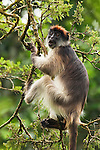 Eastern Red Colobus (Procolobus rufomitratus) male in tree, Bigodi Wetland Sanctuary, Magombe Swamp, western Uganda