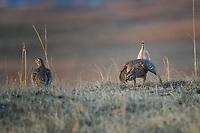 Sharp-tailed Grouse on a lek in Nebraska