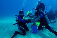 Scuba divers handle nurse shark, Ginglymostoma cirratum, Molasses Reef, Key Largo, Florida, USA, Atlantic Ocean