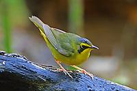 Adult male Kentucky warbler