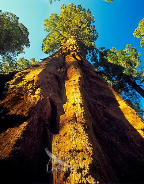 Giant Sequoia tree (Sequoia Gigantea) Sequoia National Park, CA.