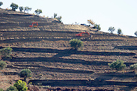 vineyards terraces being built douro portugal