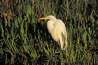Great Egret. Everglades National Park, Florida. U.S.A. (Casmerodius albus).
