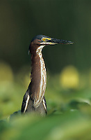 Green Heron, Butorides virescens,adult on Yellow Water Lily pads, Welder Wildlife Refuge, Sinton, Texas, USA