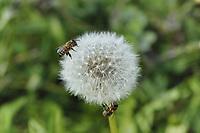 Honeybees on dandelon pappus