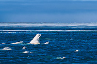 beluga whale, or white whale, Delphinapterus leucas, spyhopping, among large pod, in summer, congregating in the protected shallow waters of Cunningham Inlet, Nunavut, Canada, Arctic Ocean