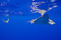 A pair of spotted eagle rays, Aetobatus narinari, pregnant female and mate, Kona Coast, Big Island.
