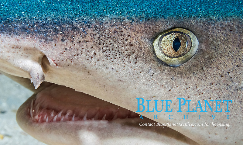 whitetip reef shark, Triaenodon obesus, close up on face, Cocos Island, Cocos Island National Park, Costa Rica, Pacific Ocean