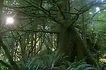 Ancient Sitka Spruce, Picea sitchensis, Acous Peninsula, Checleset Bay Ecological Preserve, Checleset Bay, Vancouver Island, west coast, British Columbia, Canada, Checleset band (Indians) village site, .