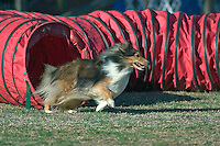 Shetland Sheepdog exiting from a tunnel during an agility competition in Gloucester, VA.
