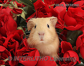 Kim, CUTE ANIMALS, LUSTIGE TIERE, ANIMALITOS DIVERTIDOS, photos,+Cute baby yellow Guinea pig among red roses.,++++,GBJBWP38980,#AC# ,funny
