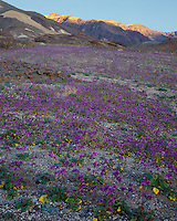 Field of Phacelias (Phacelia calthifolia) along Artists Drive; Death Valley National Park, CA