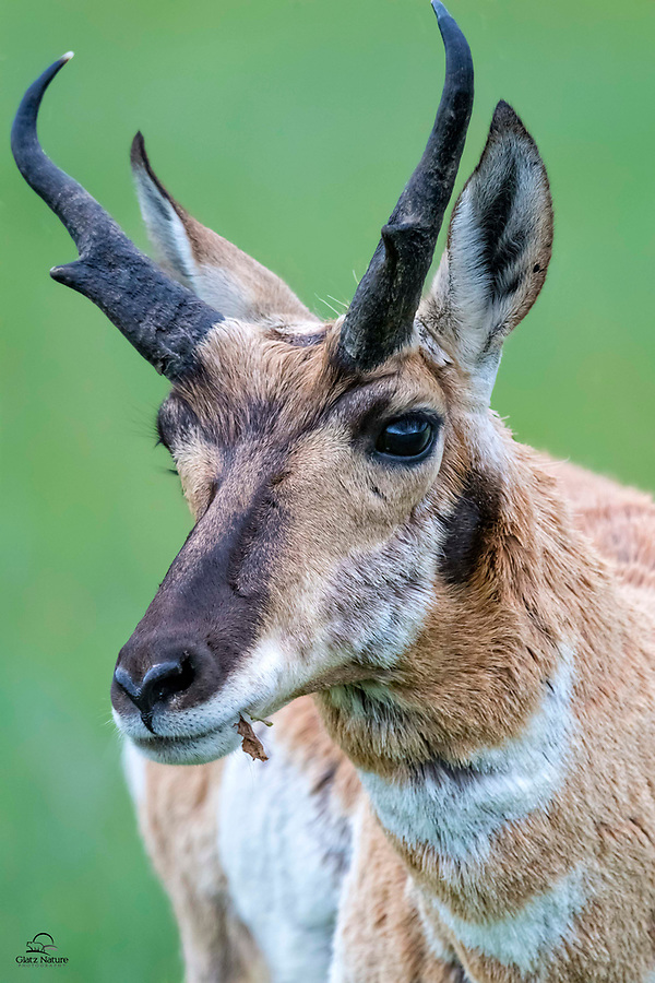 Close-up of a male Pronghorn (Antilocapra americana).  OK it's not technically an antelope - this species is most closely related to Giraffe and Okapi.  Evolved, like the African antelope species, to outrun predators, the Pronghorn proved very hearty and successful.  They outlived the North American species of cheetahs that went extinct in pre-historic times.  Incredibly fast (only the Cheetah achieves faster speeds on land), the Pronghorn have the added advantage of being able to sustain their top speed for miles.  Custer State Park, Black Hills, South Dakota.