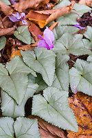 Cyclamen hederifolium 'silver Leaf' in flower bloom with Silver leaves and pink flowers in autumn fall in flower bloom