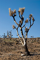 Burned Joshua tree, Yucca brevifolia. Red Rock Canyon National Conservation Area, Nevada