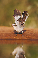 Northern Mockingbird (Mimus polyglottos), Rio Grande Valley, Texas, USA