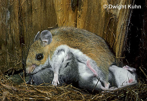 MU28-017z   White-Footed Mouse - nursing 19 day old young -  Peromyscus leucopus