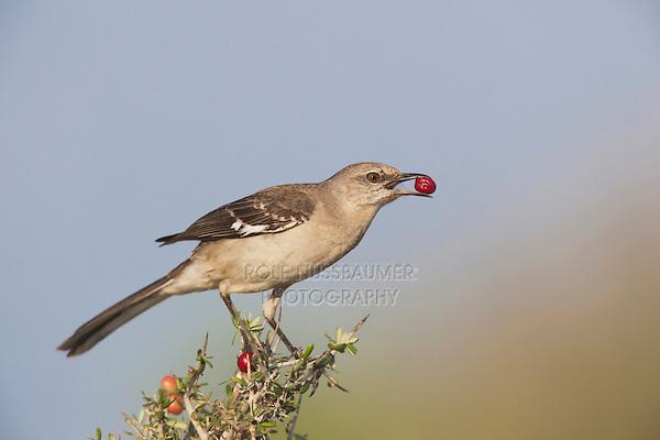 Northern Mockingbird (Mimus polyglottos),adult eating berries,Starr County, Rio Grande Valley, Texas, USA
