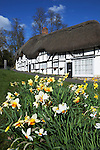 United Kingdom, England, Hampshire, Wherwell: Spring Daffodils in front of white Timber framed thatched cottages