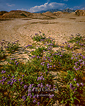 Notch Leaf Phacelia, Anza-Borrego Desert State Park, California
