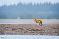 The Red Fox (Vulpes vulpes) made a dramatic entrance to the shore.  Running up and seeming excited but the smell of fish.  Here he realizes that the fish were Brown Bear catches.  He got to the spot where the big female bear was resting in between runs at the fish.  When the bear looked back at the fox, he was gone.  Not worth the risk.