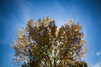 Tree limbs, like veins, lead to smaller and smaller branches where uncountable autumn tinged leaves absorb the waning rays of sun under a blue, cloud-streaked, sky.