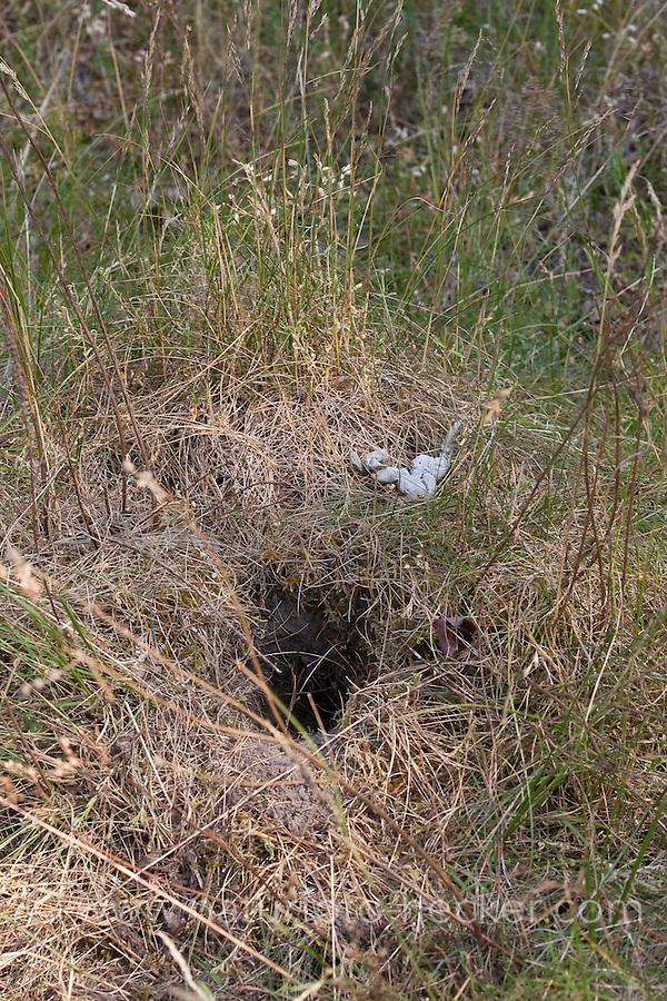 Rotfuchs, hat Mäusenest auf der Suche nach Nahrung ausgegraben und gefressen, daneben liegt die Losung, Kot vom Fuchs, Rot-Fuchs, Fuchs, Vulpes vulpes, red fox