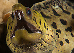 Fimbriated Moray eel , Gymnothorax fimbriatus