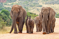 African bush elephants (Loxodonta africana), herd with calves walking on a dirt road, Addo Elephant National Park, Eastern Cape, South Africa, Africa