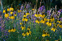 Yellow flower Mexican Hat (Rudbeckia columnifera), native wildflower, and Nepeta 'Walker's Low' in Colorado meadow garden with Western Wheat Grass