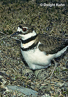 1K04-002z  Killdeer - adult sitting on eggs - Charadrius vociferus